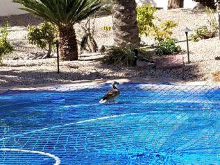 ducks in swimming pool bad